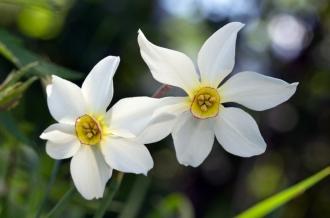Stern-Narzisse - Narcissus radiiflorus