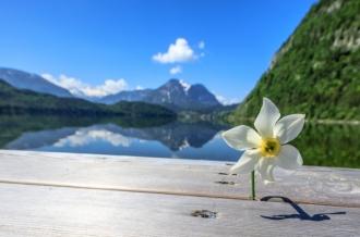 Narzisse auf einem Steg am Altausseer See